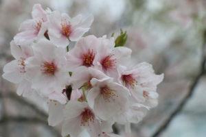 平和大通り 桜